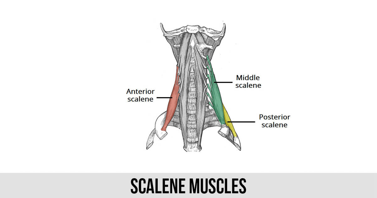 Scalene Muscles - World Wide Lifestyles