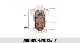 Abdominopelvic Cavity