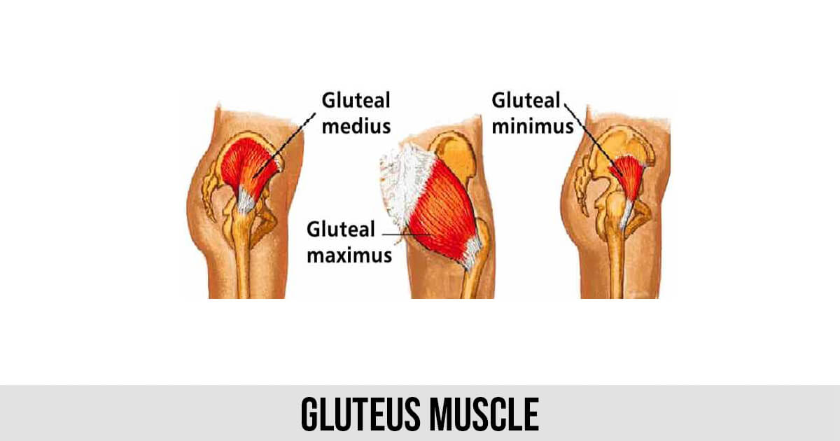 Gluteus Muscle - World Wide Lifestyles