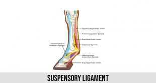 Suspensory Ligament