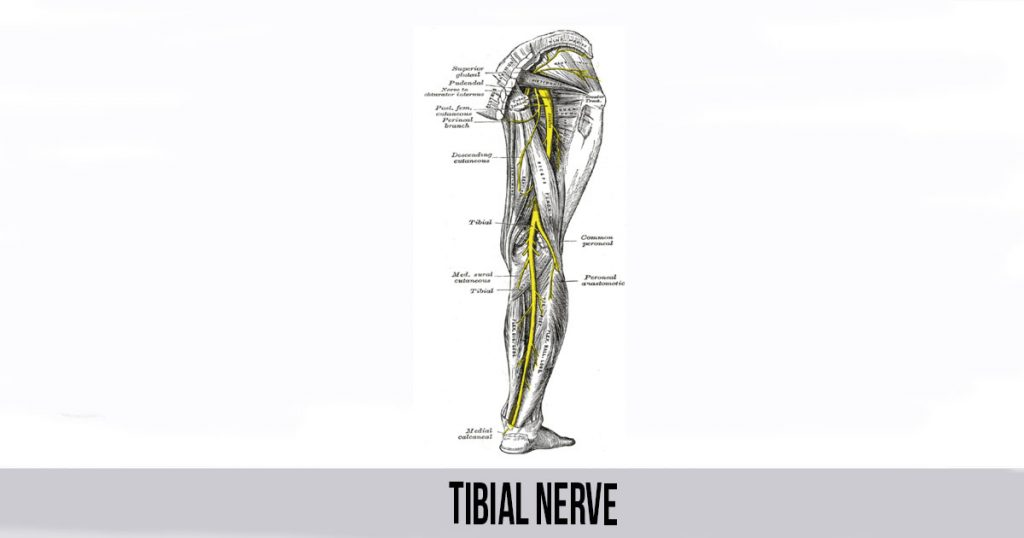 Tibial Nerve - World Wide Lifestyles