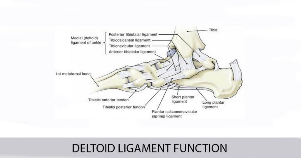 Deltoid Ligament Function - World Wide Lifestyles