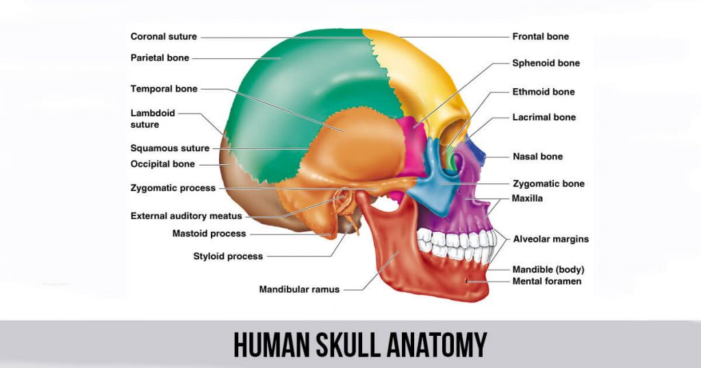 human skull anatomy world wide lifestyles fitness. Black Bedroom Furniture Sets. Home Design Ideas