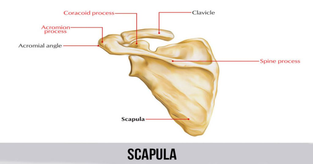 scapula world wide lifestyles