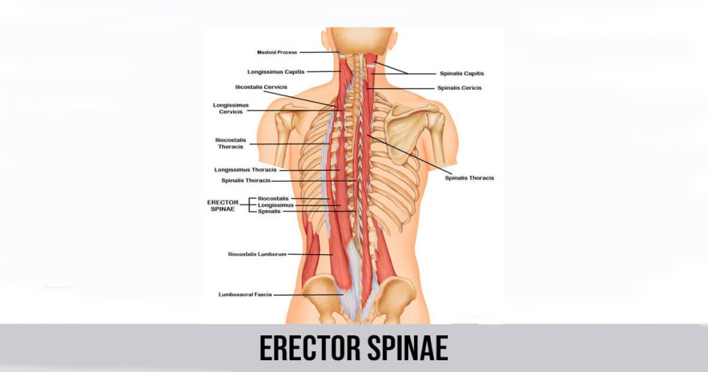 Erector Spinae Muscle