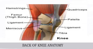 BACK OF KNEE ANATOMY