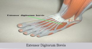 Extensor Digitorum Brevis Muscle