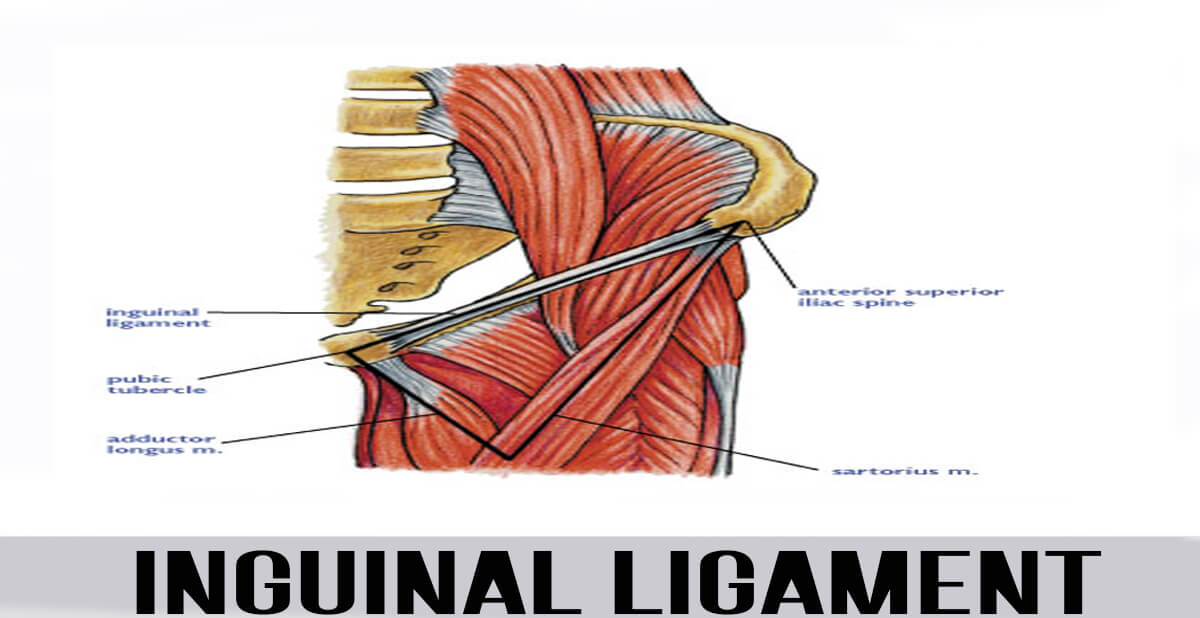 Inguinal Ligament - World Wide Lifestyles