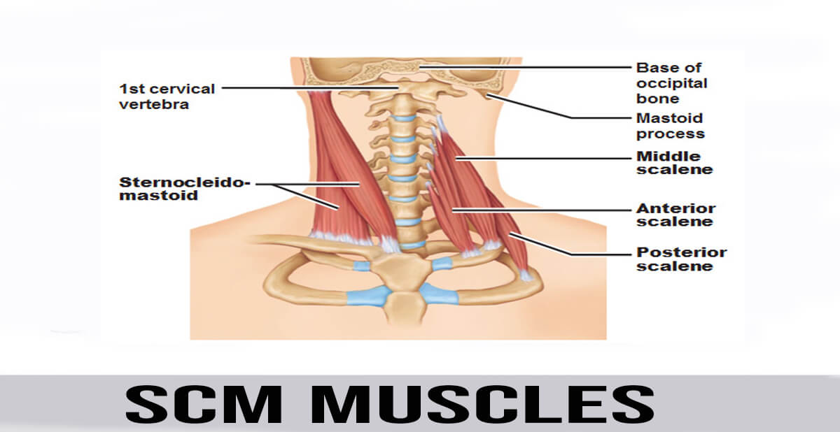 Scm Muscles World Wide Lifestyles