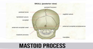 mastoid process