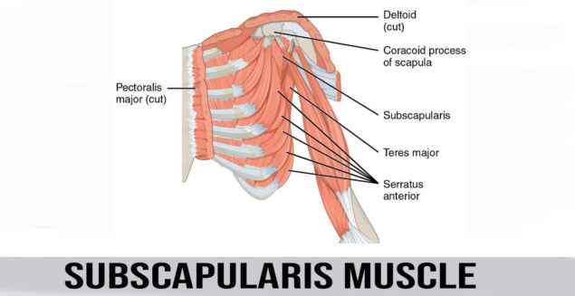 subscapularis muscle