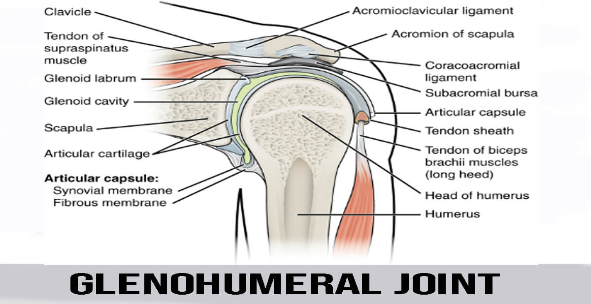 glenohumeral joint details